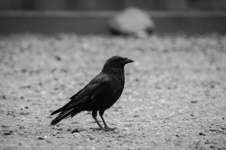 raven-1